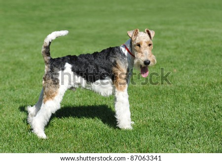 Wire Fox Terrier portrait in show pose