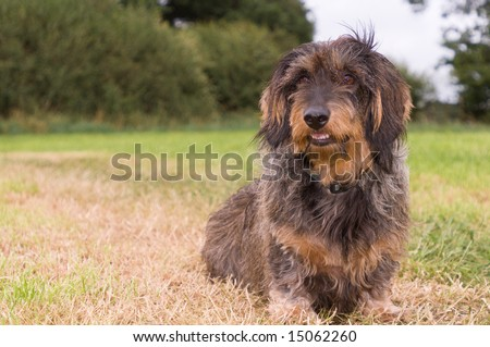 long haired dachshund pictures. Dachshund Breeder, Long Haired