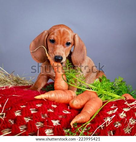 wire-haired dachshund dog