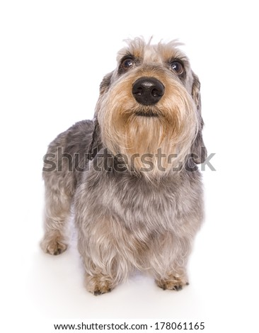 Wire haired dachshund dog standing isolated #178061165