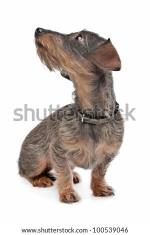 Wire-haired dachshund (Kaninchen Teckel) in front of white
