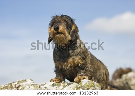 long haired dachshund pictures. stock photo : Wire-haired