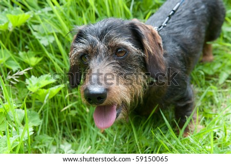 "Wire-haired dachshund or other name ""badger dog"""