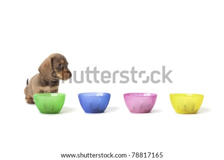Wire-haired dachshund puppy cannot choose between colored cups with food on white background