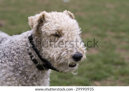Wire Haired Fox Terrier Head