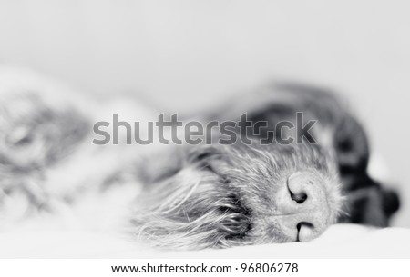 Wire-haired pointer asleep, focus on nose, black and white photo.