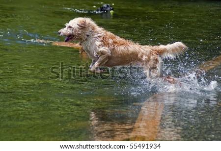 Wired haired mixed breed jumping into the water at a dog park. Dogs having fun playing in the river on a beautiful summer day.
