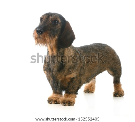 wirehaired dachshund standing isolated on white background