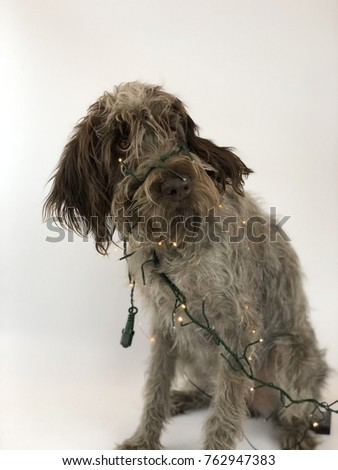 wirehaired pointing griffon  #762947383