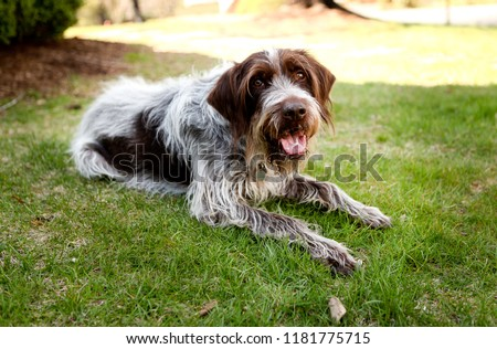 Wirehaired Pointing Griffon Dog Relaxing in the Cool Green Grass #1181775715