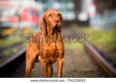 Wirehaired Vizsla in the City #796228042
