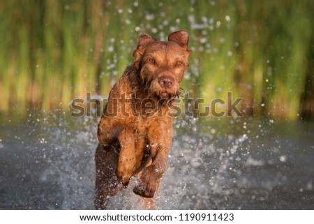 Wirehaired Vizsla Magyar in the water #1190911423