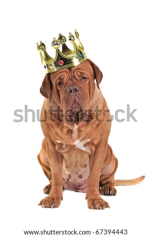 Wise Dog (Dogue De Bordeaux) wearing King's Golden Crown, Isolated On White Background.