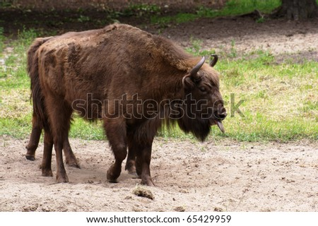 Wisent, European bison, Poland - stock photo