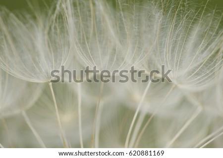 Wispy Dandelions - Shutterstock ID 620881169