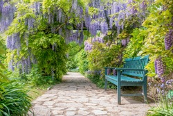 Wisteria alley in blossom in a spring time