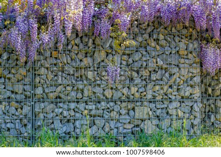 Wisteria blossom on Gabion stone wall background. Garden background with Fabaceae Wisteria sinensis flowers and Gabion wire mesh fencing with natural stones.