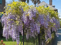 Wisteria clings to an iron grate fence in Old Town Charleston.