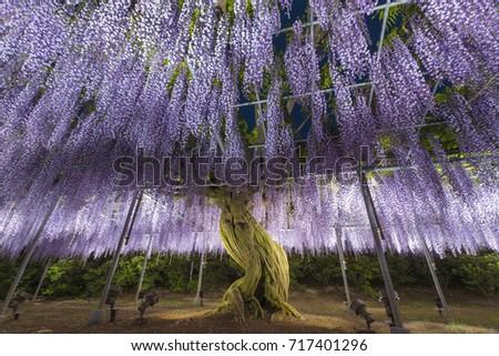 Wisteria flower at Ashikaga flower park in japan at night