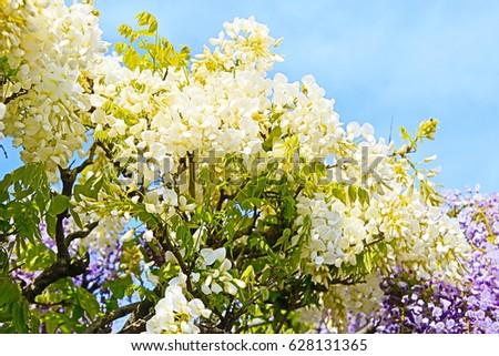 Wisteria flower, White wisteria flower, Wisteria trellis, blue sky, Saitama, Gunma, Japan