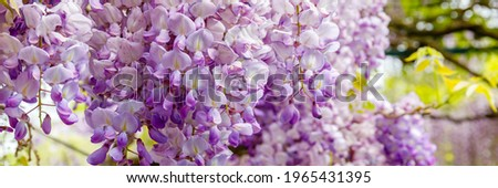 Wisteria flowers in garden, close up. Chinese Wisteria ( Fabaceae Wisteria sinensis ) blossoms in sunny day, banner. Lila Wisteria bloom Foto stock ©