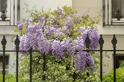 Wisteria in the Rain. The pendulous flowers of the wisteria are a magnificent site when the plant is in full bloom. In the rain the petals are highlighted by the raindrops.