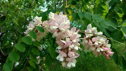 Wisteria-like, pendant raceme of fragrant, bicolour, pink-white flowers of Pink False Acacia against the green foliage. Scented, two-colour,pink-white blooms in a drooping raceme,hanging from a branch