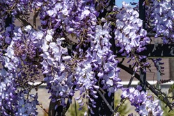 wisteria sinensis flowers on an iron fence in spring.