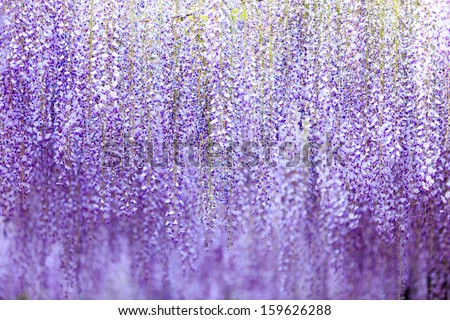 wisteria trellis. great views of Japan #159626288