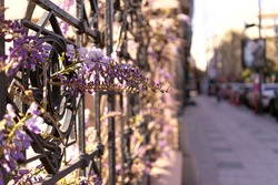 wisteria violet purple flowers on urban city street hanging on iron fence. spring city view card, blurred background.