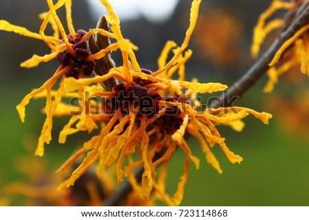 Witch-hazel flower #723114868