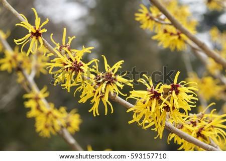 Witch hazel flowers #593157710