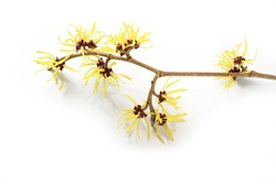 witch hazel (Hamamelis) flowers, medical plant used in skin care, natural cosmetics and alternative medicine, isolated with shadows on a white background, copy space, selected focus