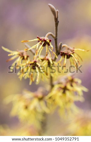 Witch hazel (Hamamelis × intermedia 'Arnold Promise')  in flower. Extraordinary yellow flowers of shrub cultivar in the family Hamamelidaceae, with long petals #1049352791