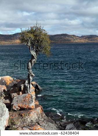 Witch tree; White cedar tree clinging to rocky shoreline Lake Superior, Minnesota, USA