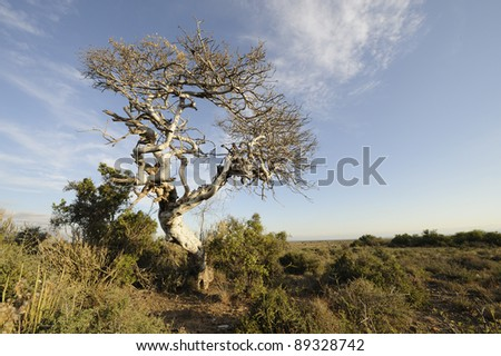 witgat tree, karoo, eastern cape,south africa. the witgat tree (Boschia) is a long-lived desert tree that can reach 800 years old.