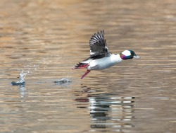 With a hop, skip and a jump this Bufflehead duck is off to a flying start.