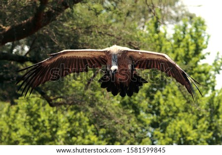 With excellent eyesight and a wing loading design to make the most of the strong thermal activities of the African plains Vultures cover huge distances scouring the land for signs of a meal