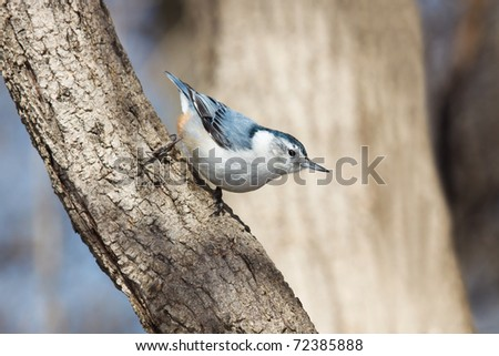 with its frosty white capped head, a white breasted nuthatch walks down a tree branch in search of food. background consists of soft out of focus sky blues and brown trees.