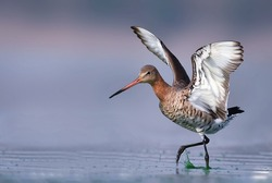 With its long beak, white-barred wings and namesake tail, the Black-Tailed Godwit is a distinctive and elegant bird.