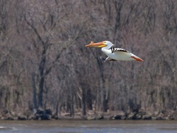 With its striking white feathers, a single American white pelican floats above the muddy waters of the MIssissippi River.