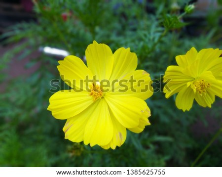 """With more than 20 species of these striking flowers, """"Cosmos sulphureus"""" and """"Cosmos bipinnatus"""" are the most common annual varieties grown in the United States"""