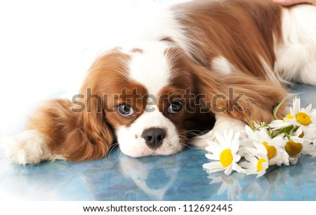 rencontre cavalier king charles