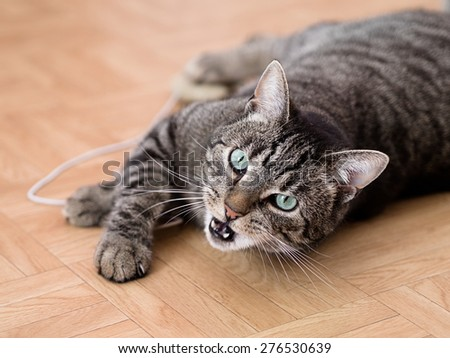 With toys playing grey striped cat