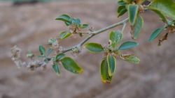 Withania somnifera branch closeup with green blurred background. Ashwagandha leaves with greenish pigment.