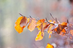 Withered beech leaves backlit on a winters day.