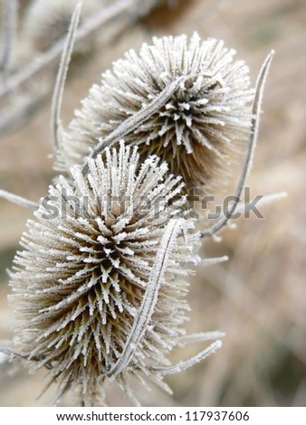 withered common teasels in winter