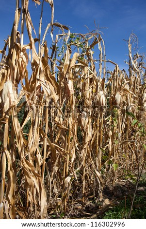 Withered corn field with blue sky above