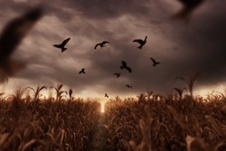 withered cornfield with flying birds in the apocalyptic mood