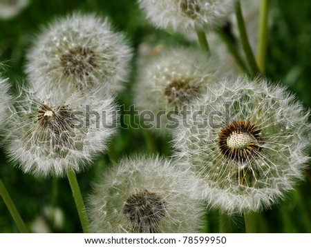withered dandelions